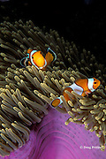 false clown anemonefish, Amphiprion ocellaris, in magnificent sea anemone, Heteractis magnifica, Similan Islands, Thailand ( Andaman Sea, Indian Ocean )