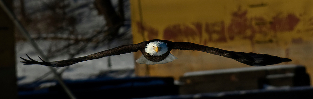 A bald eagle soars over the frozen Illinois River. ©David Zalaznik