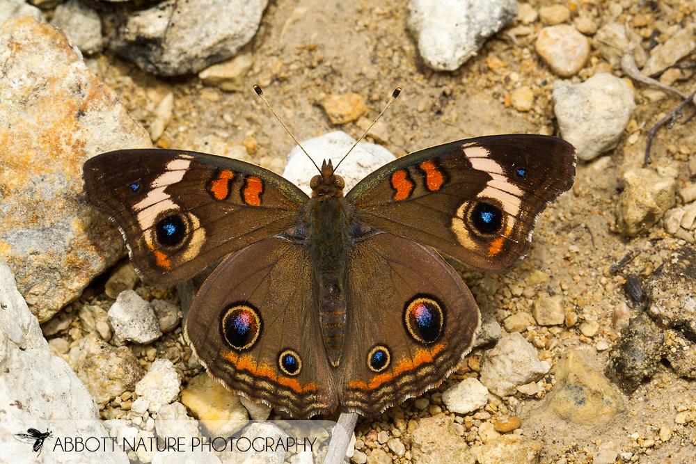 Common Buckeye (Junonia coenia)<br /> TEXAS: Travis Co.<br /> Jester Wild Drive; Austin<br /> 12-May-2012<br /> J.C. Abbott &amp; K.K. Abbott