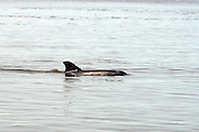 Bottlenose Dolphin breaking the surface for air in the inter coastal waterway of Jekyll Island