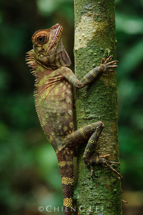 Bornean Angle-headed Lizard (Gonocephalus bornensis). Sarawak, Malaysia.
