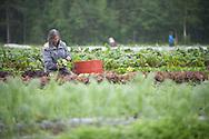 An organic farmer in Palmer, Alaska, harvests produce.