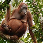 Mother and baby orangutans. Tanjung Puting National Park, Central Kalimantan region, Borneo