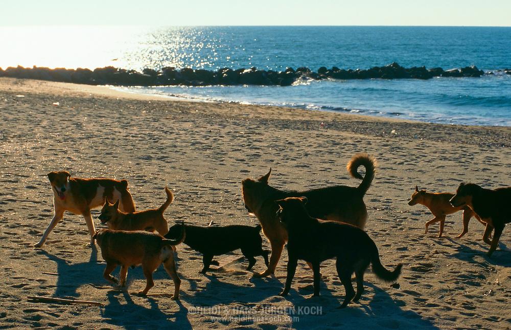 PRT, Portugal: Streunender Hund, Haushund (Canis lupus familiaris), ein Rudel am Strand, rennen hinter einer läufigen Hündin hinterher, Quarteira, Algarve | PRT, Portugal: Stray dog, domestic dog (Canis lupus familiaris), pack on the beach, running behind a female in heat, Quarteira, Algarve |