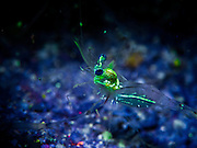 These stunning Underwater UV Animal shots are taken in the Gulf Of Thailand on several different divesites around an island called Koh Tao.<br /> <br /> Photo shows:  shrimp - Fluorescent parts in a transparrent shrimps body. Taken with cintinuous blue filtered light and a yellow barrier filter in front of the lens.<br /> ©Exclusivepix