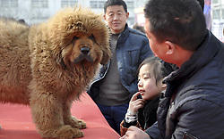 Visitors view Tibetan mastiffs at the 2nd Handan Tibetan mastiff exhibition in Handan, north China s Hebei Province, The exhibition, with nearly 400 Tibetan mastiffs attended, kicked off on Saturday March 23, 2013. Photo by Imago / i-Images...UK ONLY.