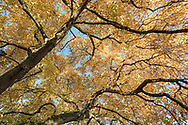 Looking up into the autumn leaves of a Star Magnolia (Magnolia stellata) at Queen Elizabeth Park in Vancouver, British Collumbia, Canada.