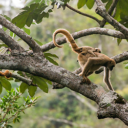 """Muriqui-do-norte e Bugio-ruivo (Brachyteles hypoxanthus e Alouatta guariba) fotografado em Santa Maria de Jetibá, Espírito Santo -  Sudeste do Brasil. Bioma Mata Atlântica. Registro feito em 2016.<br /> <br /> ENGLISH: Northern muriqui and Howler monkey photographed  in Santa Maria de Jetibá, Espírito Santo - Southeast of Brazil. Atlantic Forest Biome. Picture made in 2016."""