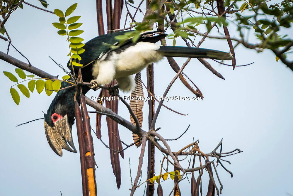 Malawi, July 2017. A hornbill in the tree. Tucked away on Nankoma Island, a part of the Maleri Island archipelago, is the Blue Zebra Island Lodge. Under the protection of the Lake Malawi National Park, these three Islands offer a unique opportunity to see rare species of Malawi's colourful Cichlid fish that have earned this site its UNESCO World Heritage Site accreditation. The Islands are also renowned for their dazzling array of bird life. Malawi is known for its long rift valley and the third largest lake in Africa: Lake Malawi. Malawi is populated with friendly welcoming people, who gave it the name: the warm heart of Africa. In the south the lake make way for a landscape of valleys surrounded by spectacular mountain ranges. Photo by Frits Meyst / MeystPhoto.com