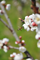 Switzerland. Springtime. Bees approaching apricot blossoms.