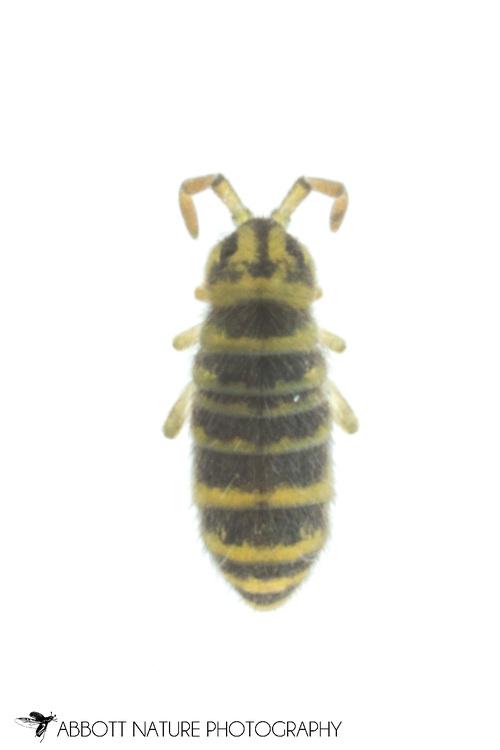 Springtail (Isotomurus bimus)<br /> United States: Alabama: Tuscaloosa Co.<br /> Tulip Tree Springs off Echola Rd.; Elrod<br /> 26-Dec-2017<br /> J.C. Abbott #3013