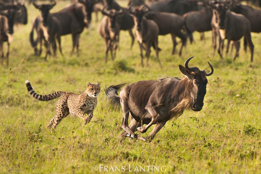 Cheetah, Acinonyx jubatus, chasing wildebeest, Connochaetes taurinus, Masai Mara National Reserve, Kenya