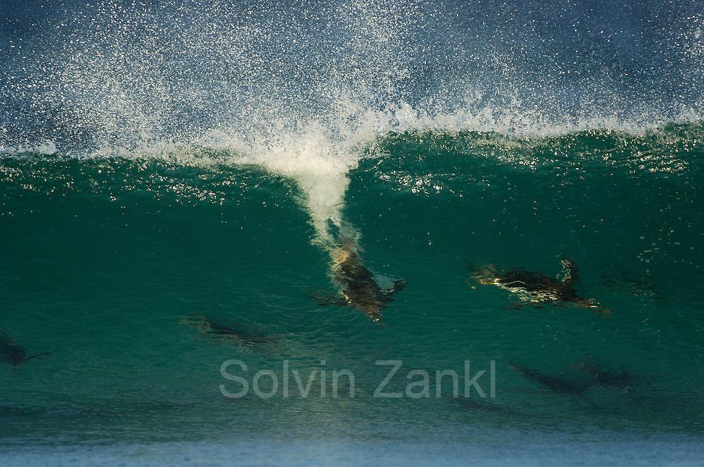 Mit bis zu 30 km/h bewegt sich der Eselspinguin (Pygoscelis papua) als schnellster Schwimmer unter den Pinguinen im Wasser fort. In der Brandungszone nutzt er, wie ein Wellenreiter, zusätzlich geschickt den Schub der heranrollenden Brecher.   With a swim speed of up to 30 km/h the Gentoo Penguin (Pygoscelis papua) is the fastes among the penguins. In the surf line the penguin additionally uses the thrust of the braking waves.