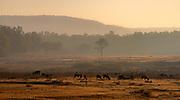 Morning with grazing swamp deers (baresinga) in Kanha National Park, Madhya Pradesh, india.