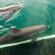 Dolphins in captivity..Puerto Aventuras, Quintana Roo..Mexico.