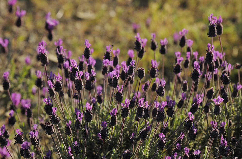 French lavender, Lavandula stoechas, on the steppe of Los Dientes del Diablo, La Serena, Extremadura, Spain