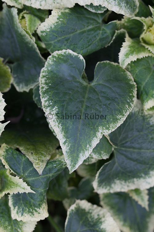Lunaria annua var. variegata (white-flowered form)