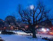 Moonshine through the old English Elm at 89th street and Fifth Avenue in Central Park