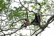 female and baby Geoffroy's spider monkey (Ateles geoffroyi) in a treetop. Also known as the black-handed spider monkey, is a species of spider monkey, a type of New World monkey, from Central America. Photographed in Costa Rica