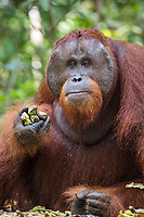 A wild, dominant male Bornean orangutan (Pongo pygmaeus) enjoying a supplemental feeding of bananas from park rangers in Tanjung Puting National Park, Borneo, Indonesia.