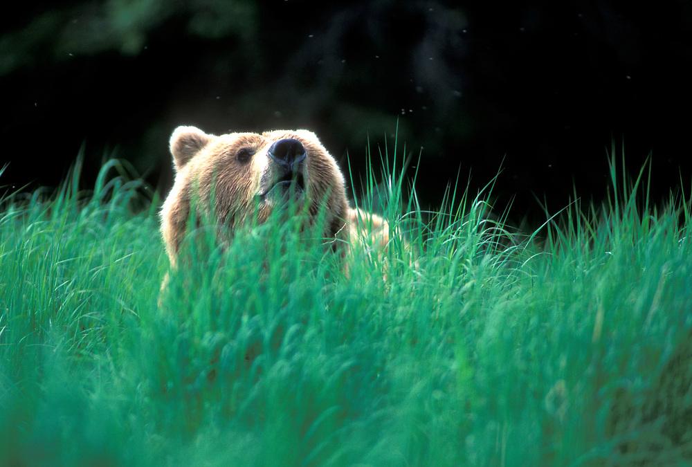 USA, Alaska, Katmai National Park, Grizzly Bear (Ursus arctos) stands in tall grass along Brooks River