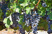 Ripe wine grapes on vine ready to harvest