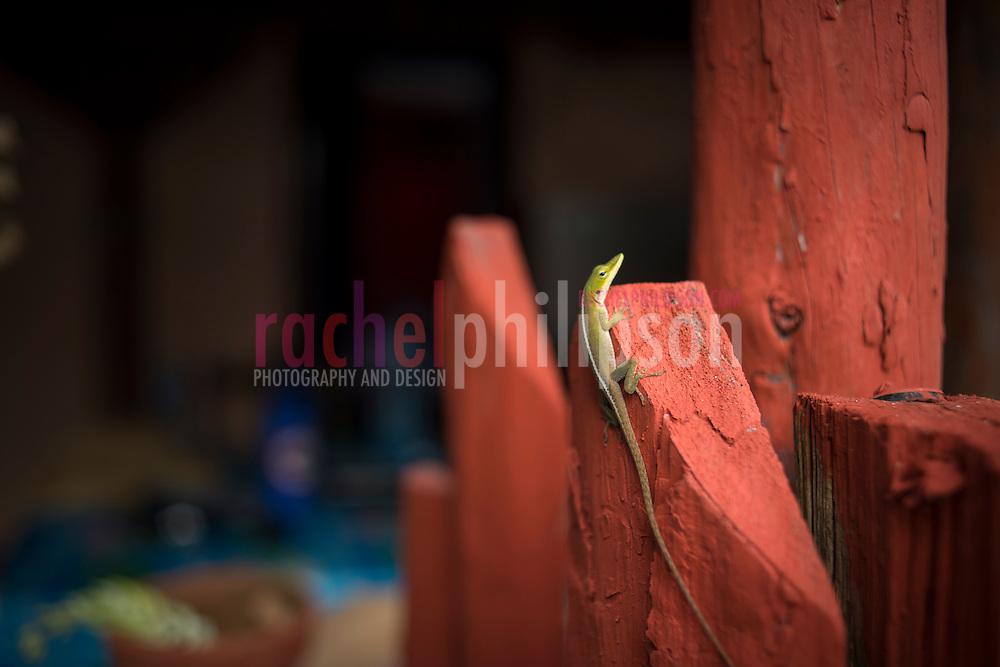 Cuba, Viñales, green lizard, largartijo