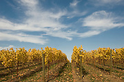 A brilliant autumn day at Penner-Ash estate pinot noir vineyard, Willamette Valley, Oregon