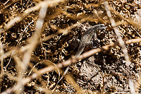 (Lizard) at Grizzly Flat, Angeles NF, Los Angeles Co, CA, USA, on 05-Oct-14
