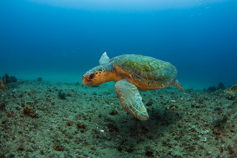 The green sea turtle (Chelonia mydas) is a large sea turtle of the family Cheloniidae. Its range extends throughout tropical and subtropical seas around the world, with two distinct populations in the Atlantic and Pacific oceans.