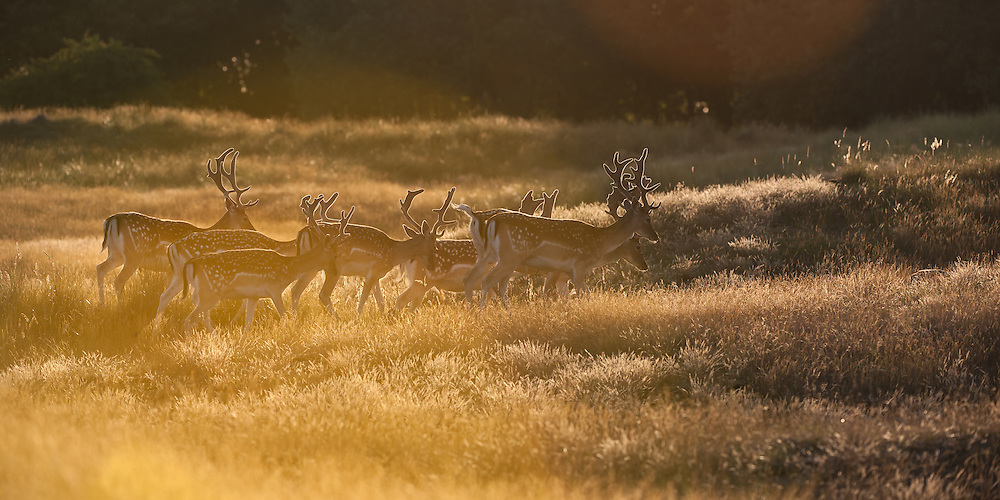 Herd of Fallow Deer (Dama dama) foraging in grassland