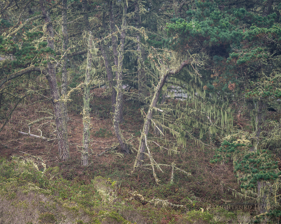 Moss-covered pine trees in forest, Point Reyes National Seashore, Marin County, California