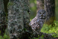 Great grey owl (Strix nebulosa) adult perched on boreal forest floor, Oulu, Finland.