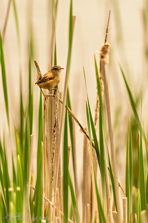 "The Marsh Wren (Cistothorus palustris) is a small, formally common, North American songbird inhabiting cattail marshes whose numbers have declined with the loss of suitable wetland habitat. Draining of marshes leads to its local extinction.  These birds forage actively in vegetation, sometimes flying up to catch insects in flight. They mainly eat insects, but may also consume spiders and snails.  The Marsh Wren sings all day and throughout the night producing a gurgling, rattling trill often used to declare ownership of its territory.  The nest is an oval lump of woven wet grass, cattails, and rushes, which is lined with fine grass, plant down, and feathers.  It is attached to marsh vegetation and entered from the side. Industrious male Marsh Wrens build ""dummy nests"" in their nesting territories, occasionally up to twenty or more, although most are never used for raising young.  Normally four to six eggs are laid twice each year, although the number can range from three to ten.  The eggs are generally pale brown and heavily dotted with dark brown; although sometimes they may be all white. Only the female incubates the eggs which hatch after 13-16 days. The young leave the nest about 12-16 days after hatching."