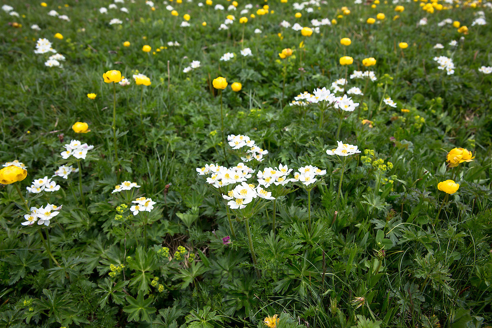 Alpine wildflowers, Globeflowers and Mountain Avens, Dryas octopetala in bloom below the Swiss Alps, Switzerland