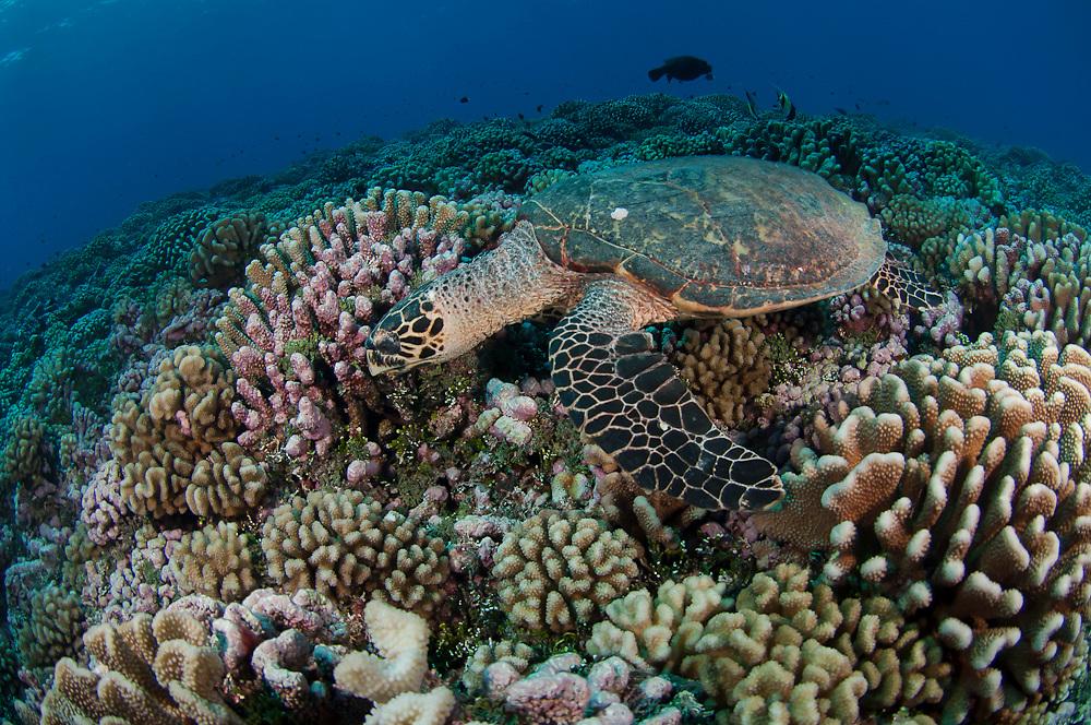 A Hawksbill Sea Turtle,  Eretmochelys imbricata, feeds in Tiputa Pass, Rangiroa, French Polynesia.