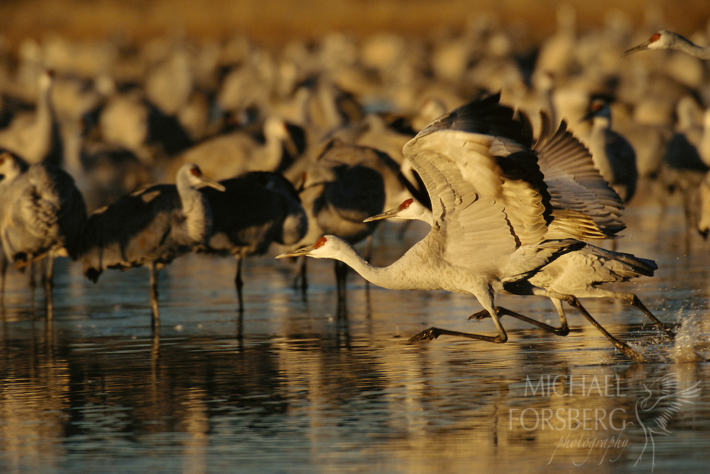 In full stride, greater sandhills gain speed to fly, heading off the roost toward feeding grounds. Bosque del Apache NWR, New Mexico.