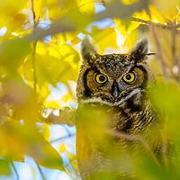 Great horned owl, Bozeman, Montana