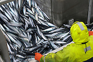 """Crew member David Anderson examining catch of mackerel as it is pumped in to the refrigerated fish hold on board the pelagic trawler """"Charisma."""" Shetland Isles. October 2011."""