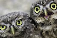 Little owl  ( Athena noctua ) Aragon Spain Europe&amp;#xA;&copy; KIKE CALVO - VISUAL&amp;WRITTEN&amp;#xA;( bird raptor of prey carnivore european europe Spanish nocturnal eye contact vision<br />