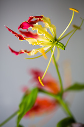 Gloriosa Lily #6