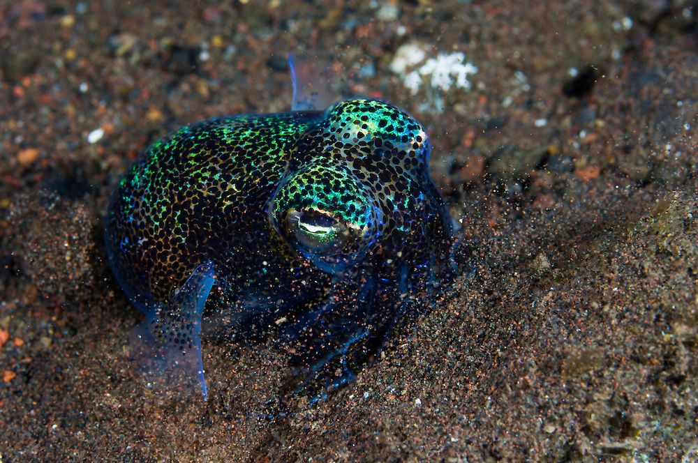 Bobtail squid burying itself in sand, Seraya, Bali, Indonesia. Seraya is located on Bali's NE coast and has become very popular with divers and photographers searching for unusual species.  The signature site, 'Seraya Secrets' has a barren sand floor with small patches of sponge and other encrusting life, and rocks in the shallows. Bali is a very popular holiday destination for divers and offers a wide variety of different types of diving, from reefs and wrecks to mucks sites such as Puri Jati and Gilimanuk.