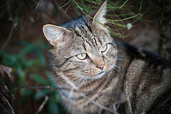 Tabby cat in bushes in a suburban garden, Leicester, England, UK.