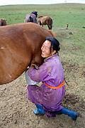 TERELJ, MONGOLIA..09/04/2001.Milking mares..(Photo by Heimo Aga)