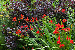 Crocosmia 'Lucifer' with Cotinus coggygria Purpureus Group and fennel