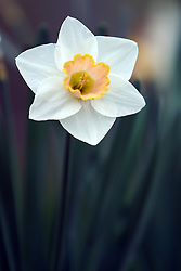16 April 2006:   Peach center and white petal daffodil Narcissus is a genus of predominantly spring perennial plants in the Amaryllidaceae family. Various common names including daffodil, daffadowndilly, narcissus, and jonquil are used to describe all or some members of the genus
