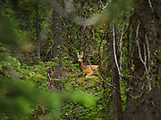 Idaho/Montana border, Cow Elk hiding in the forest