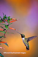 01162-089.06 Ruby-throated Hummingbird (Archilochus colubris) male on Cigar Plant (Cuphea ignea) Shelby Co.  IL