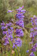 Rare lemhi penstemon (Penstemon lemhiensis)  flowers at Big Hole National Battlefield, Montana. The plant is considered at risk for extinction by the Montana Natural Heritage Program and It is a category 2 candidate for federal listing as threatened.