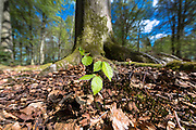 Beech tree sapling, Fagus sylvatica, at base of mature beech tree in Bruern Wood in The Cotswolds, Oxfordshire, UK